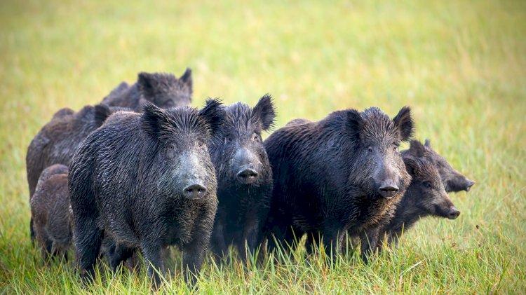 उत्तराखंड:फसलों को नुकसान पहुंचा रहे नील गाय-जंगली सूअर मारे जा सकेंगे