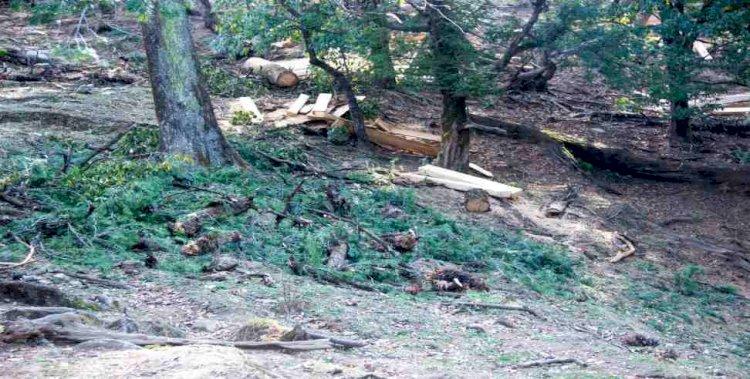 उत्तरकाशी : वयाली के जंगलों में हरे पेड़ों का कटान, देखें पेड़ों के कत्लेआम का भयावह मंजर