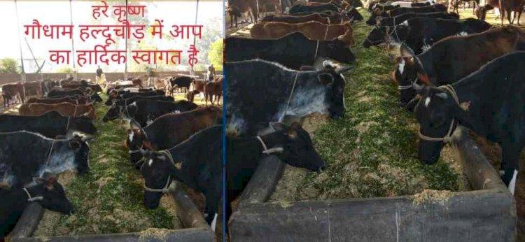उत्तराखंड: भूख से दम तोड़ने की कगार पर 1300 गायें