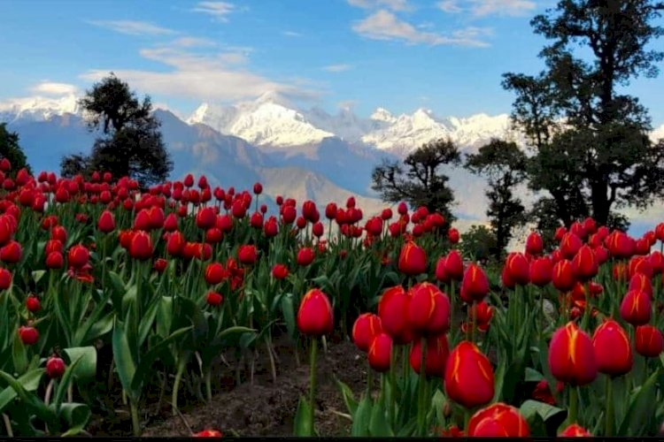 हिमालय से घिरे मुनस्यारी में रंग बिरंगे ट्यूलिप देखने वालों को पहली ही नजर में अपनी ओर खींच रहे हैं।